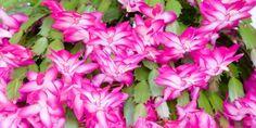 Co dělat, aby vánoční kaktus kvetl včas a bohatě Indoor Plants, House Plants, Flora, Home And Garden, Gardening, Foliage Plants, Plants, Lawn And Garden, Houseplants