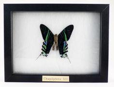 """Chupóptero XII"" Bronce y mariposa real (13x18m) Laura Salguero"