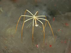 Zoologger: The giant sea spider that sucks life out of its prey! WHAT!? 25cm leg span. No thanks!
