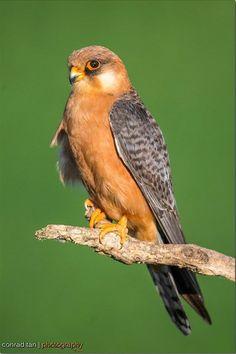 Red Footed Falcon Falco Vespertinus Female Found In Eastern Europe And Asia Rare
