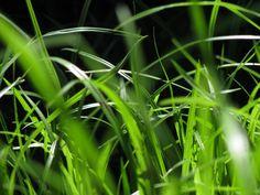pasto,cesped,verde,naturaleza,vista de frente,primer plano,exterior,,prod05