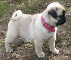 We have been thinking of getting a pug and after looking at this pic they are so cute!