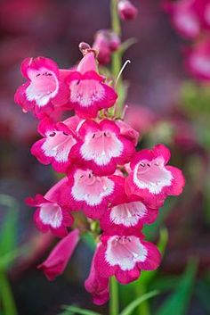Clive Nichols - CLOSE UP OF THE PINK FLOWERS OF PENSTEMON 'GEORGE HOME'