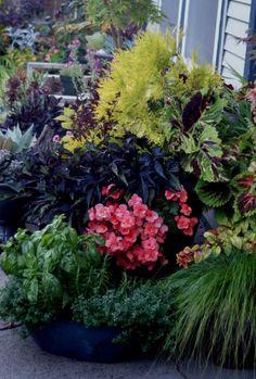 Boat of Herbs; Thuja Forever Goldie; Salmon Begonia; Blackie Sweet Potato Vine