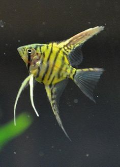 bumble bee pinoy angelfish - Google Search