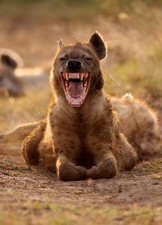 Hyena - not a fan!!!