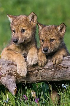 """Wolf Pups Looking For Mom by Mike Dodak"""