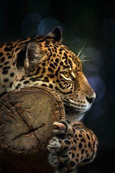 Jaguar, by Anek S