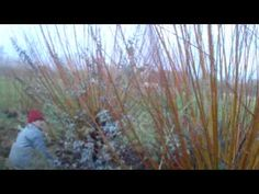 ▶ Cutting golden willow for natural Christmas decorations - YouTube