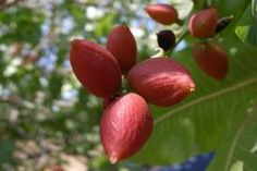 pistachio tree - Aleppo/Halab