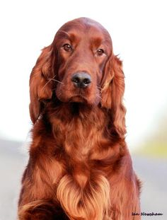 Irish Setter it's soooo pretty!!!! If I had one my dog and I would have matching hair colors!!!