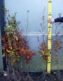 Bare-Root Beech Hedging 120-140cms high