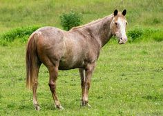 Meet Julius, an adoptable Quarterhorse looking for a forever home. If you're looking for a new pet to adopt or want information on how to get involved with adoptable pets, Petfinder.com is a great resource.