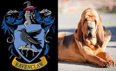 Ravenclaw with a bloodhound patronus. Well goddamn, according to the official quiz my patronus is a basset hound. Well done.