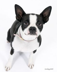 BT copyright 2012 zendog pet portraits