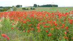 Wild poppies along the road side