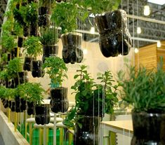 Hanging Indoor Basil Plants 20193823