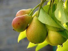 Как правильно вырастить грушевое дерево - Садоводка