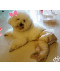 Funny Dogs Wearing Pantyhose - 15 Pics - Dump A Day Dog Wearing Pantyhose, In Pantyhose, Funny Animal Pictures, Funny Images, Funny Animals, Crazy Costumes, Pet Care, Memes, Poodle