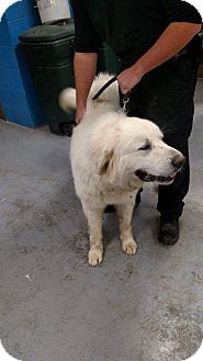 Great Pyrenees Dog for adoption in Washington, D.C. - Hoss (Needs Foster)