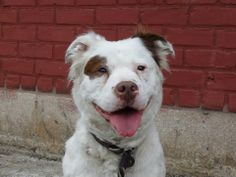 TO BE DESTROYED 5/30/14 Brooklyn Center -P  My name is BELLA. My Animal ID # is A1000573. I am a female white and brown border collie and am pit bull ter mix. The shelter thinks I am about 4 YEARS old.  I came in the shelter as a OWNER SUR on 05/21/2014 from NY 11208, owner surrender reason stated was OWN EVICT.  https://www.facebook.com/photo.php?fbid=807779245901623&set=a.611290788883804.1073741851.152876678058553&type=3&theater