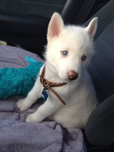 Brady :) my little Siberian Husky sweetheart! The absolute perfect name for a husky😍 White Husky Puppy, Husky Corgi, Siberian Husky Puppies, Siberian Huskies, All White Husky, White Pomeranian, Animals And Pets, Baby Animals, Funny Animals