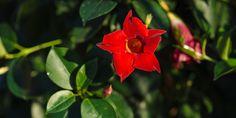 Διπλαδένια, το βραζιλιάνικο γιασεμί Go Green, Home And Garden, Diy Projects, Exterior, Rose, Plants, Gardening, Olympia, Decor