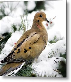 Mourning Dove Square Metal Print by Christina Rollo.  All metal prints are professionally printed, packaged, and shipped within 3 - 4 business days and delivered ready-to-hang on your wall. Choose from multiple sizes and mounting options.
