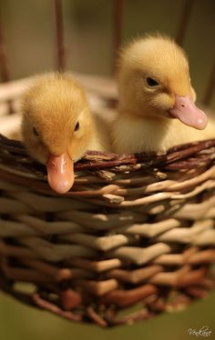 Two Young Ducklings in a Wicker Basket Bed keeping warm on the Farm Cute Little Animals, Cute Funny Animals, Cute Dogs, Cute Ducklings, Duck And Ducklings, Nature Animals, Farm Animals, Baby Ducks, Mellow Yellow