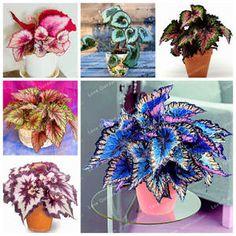 Avis et Test - Plantation Coleus Begonia, Dwarf Japanese Maple, Coleus, Pot Jardin, Pot Plante, Rare Flowers, Plantation, Flower Pots, Pure Products