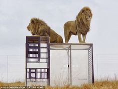 Tourists can now lock themselves in plexiglass cages to watch lions up close