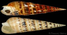 Oxymeris maculatus    (Linnaeus, C., 1758) Marlinspike; Roosevelt's/Big/Spotted Auger Shell size 50 - 274 mm Red Sea & E Africa - E Pacific