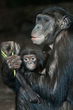 Meet our baby female bonobo born on Nov. 17th.  You can submit a name suggestion on our Facebook page.  We will choose our favorite names and put them to a final vote next Monday on Facebook.