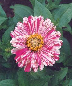 Zinnia - Peppermint Stick