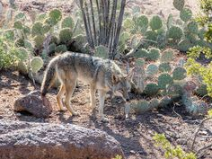 coyote by apmckinlay, via Flickr