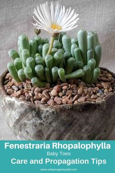 """Detailed information about the Fenestraria rhopalophylla otherwise known as """"Baby Toes"""".Learn how to water Baby Toes. Types Of Cactus Plants, Different Types Of Succulents, Jade Plants, Cool Plants, Succulent Names, Propagating Succulents, Succulent Gardening, Planting Succulents, How To Water Succulents"""