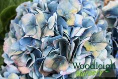 Hydrangea macrophylla Gentian (antiqued) Hydrangea Macrophylla, Metallic Blue, Cut Flowers, Perennials, Nursery, Plants, Outdoors, Autumn, Fall Season