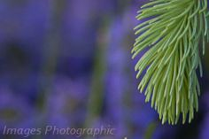 Evergreen with new growth backed by lavender.