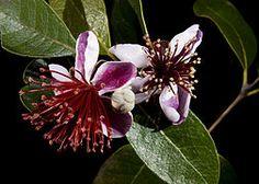 Feijoa sellowiana. Fruit comestible. Arbuste visuellement proche de l'arbousier.