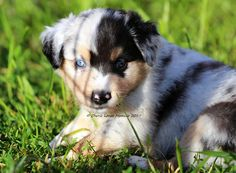 Everything we all adore about the Exuberant Aussie Puppies Australian Puppies, Aussie Puppies, Blue Merle, Merle Australian Shepherd, Husky Mix, Working Dogs, Border Collie, Cute Dogs, Corgi