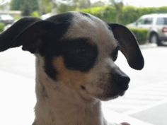 Franky! <3 Chihuahua Mix • Adult • Male • Small. For the Sake Of Dogs Fresno, CA. If you are interested in adopting one of our dogs please let us know (if you are inquiring via email, please include a phone number where you can be reached) and we will bring him/her out to Petco at Herndon and Clovis on Saturdays from 10 - 3. ...