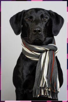 Black Labrador 🐾 Labrador Retrievers, Labrador Retriever Negro, Schwarzer Labrador Retriever, Retriever Dog, Black Lab Puppies, Cute Puppies, Cute Dogs, Dogs And Puppies, Doggies