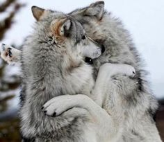 Pair of wolves playing coyotes, my spirit animal, my animal, wolf spirit, w Wolf Photos, Wolf Pictures, Beautiful Creatures, Animals Beautiful, Feral Heart, Tier Wolf, Animals And Pets, Cute Animals, Wolf Husky