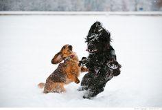 Такса Десси и её одноразовый друг — собака, зима, снег, игры, стандартная длинношёрстная такса, русский охотничий спаниель