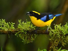 The Blue-winged Mountain Tanager (Anisognathus somptuosus) is found in Bolivia, Colombia, Ecuador, Peru, and Venezuela. Photo: Bill Holsten.
