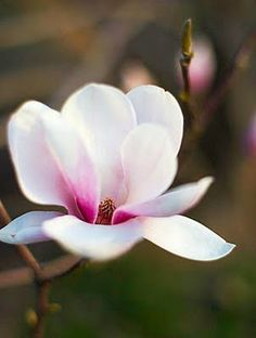 magnolias remind me of home