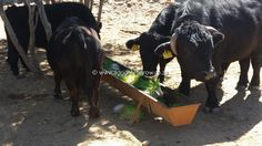 Agri GreenGrow - Benefits of Green Fodder Livestock, Climate Change, Agriculture, Benefit, Africa, Horses, Green, Animals, Animales
