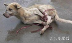 "Look at this picture, a dog waiting to skinned to death. This is why we will never give up, ban fur. Do not purchase any 'faux' fur .From fur coats to tiny trinkets to dog and cat toys, do not purchase anything with fur on it, even if it's labeled as ""faux,"" because 96% of fur marked as ""faux"" is real. And if it's made in China, it's most likely a dog (like this one) or cat that was skinned alive after a horrific existence."