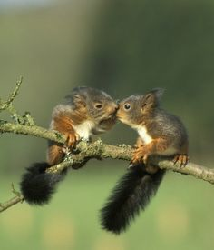 Baby squirrels kissing