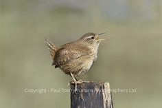 Wren - Troglodytes troglodytes Copyright Paul Sterry/Nature Photographers Ltd